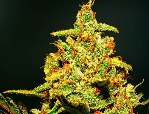 medicinal marijuana bud