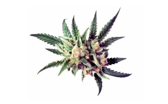 Marijuana Strains 101